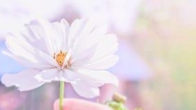 Delikatny różowy cosme stokrotki kwiat na pięknym tle kosmos kopii obraz stock