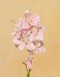 Delikatny różowy Larkspur Obraz Stock