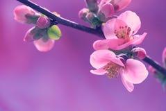 Zmroku różowy płatek makro- Obrazy Royalty Free