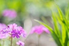 Delikatny różowy pierwiosnek kwitnie w na wolnym powietrzu Piękny tło z delikatną tonacją Selekcyjna ostrość zdjęcie stock
