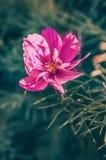 Delikatny r??owy cosme stokrotki kwiat na pi?knym tle kosmos kopii obrazy stock
