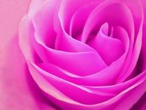 Delikatny rosebud menchii róży zbliżenie Obraz Royalty Free