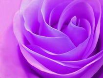 Delikatny rosebud purpur róży zbliżenie Fotografia Royalty Free