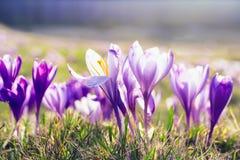 Delikatny wiosny tło, krokus kwitnie w słońcu na łące zdjęcia stock