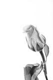 Delikatny wzrastał na prostym białym tle obraz stock