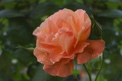 Delikatny wzrastał z kroplami rosa na tle greenery Zdjęcie Royalty Free