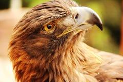 Delikatny Złoty Eagle Obrazy Royalty Free