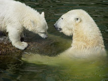 Delinquent bear-cub. Polar bear mother and delinquent bear cub Royalty Free Stock Photos