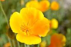 Deliya blommasingel Royaltyfri Bild