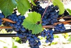 Delizia dell'uva Immagine Stock