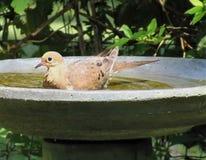 Delizia delle colombe Fotografia Stock