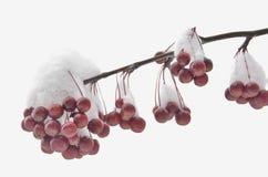 Delizia di Snowy Fotografia Stock