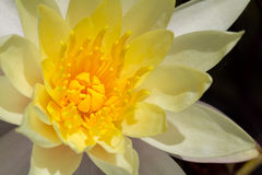 Dell'acqua fiore lilly Immagini Stock Libere da Diritti