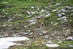 Dell'Agnello Colle: 2 groundhogs Стоковые Изображения