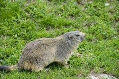 Dell'Agnello di Colle: primo piano della marmotta Fotografia Stock