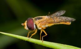 Dell'arancio balteatus di Episyrphus hoverfly Fotografia Stock