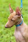 dell'Etna de Cirneco, retrato siciliano do filhote de cachorro do Hound Fotografia de Stock Royalty Free