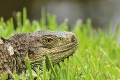 Dell'iguana fine su e personale immagine stock