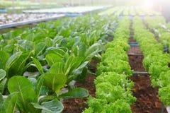 Dell'insalata del raccolto del caricare azienda agricola del sistema di coltura idroponica per agricoltura ed il concetto del veg fotografie stock libere da diritti
