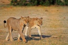 2 dell'orgoglio di Cecil che CAMMINA SULLE PIANURE nel hWANGE Immagini Stock Libere da Diritti