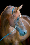 Ritratto arabo rosso del cavallo sul nero Immagine Stock Libera da Diritti