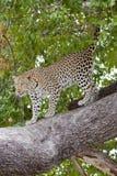 Della carta da parati leopardo online - che scende dall'albero Fotografie Stock Libere da Diritti