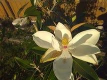 Della cima vista giù di un fiore della magnolia immagini stock