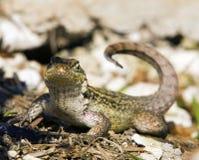 Della coda riccia grande Bahama isola di Lizzard Fotografie Stock Libere da Diritti