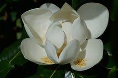 Della magnolia fine su Immagine Stock