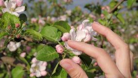 Della mano tocchi femminili amoroso ed accarezzare i fiori bianchi di fioritura dell'albero archivi video