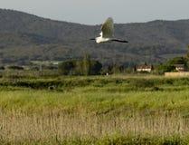 Della Pescaia Grosseto, natürliche Reserve Italiens Toskana Maremma Castiglione von Diaccia Botrona, Reiher im Flug lizenzfreies stockfoto
