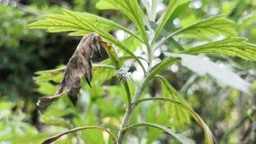 della pianta dell'assenzio che mangia dai juglandis lanosi della noce di burro di un Eriocampa del verme stock footage