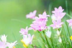 Della pioggia fiore rosa del fiore lilly Fotografia Stock
