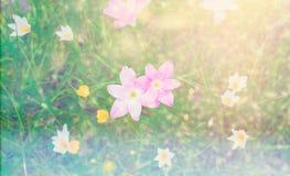 Della pioggia fiore rosa del fiore lilly con sunflare Immagine Stock Libera da Diritti