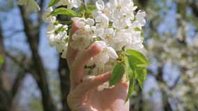 Della ragazza della mano tocchi amoroso ed accarezzare i fiori bianchi di fioritura dell'albero video d archivio