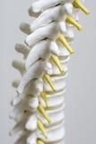 Della spina dorsale del modello fine in su fotografie stock