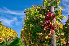 Della vigna di file del vino autunno cambiante di caduta di stagioni di giorno all'aperto Immagini Stock Libere da Diritti