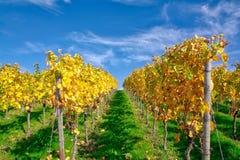 Della vigna di file del vino autunno cambiante di caduta di stagioni di giorno all'aperto Immagini Stock