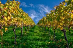 Della vigna di file del vino autunno cambiante di caduta di stagioni di giorno all'aperto Immagine Stock