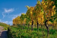 Della vigna di file del vino autunno cambiante di caduta di stagioni di giorno all'aperto Fotografie Stock Libere da Diritti