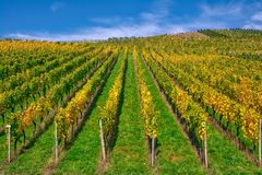 Della vigna di file del vino autunno cambiante di caduta di stagioni di giorno all'aperto Fotografia Stock Libera da Diritti