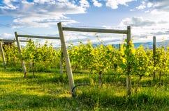 Della vigna Lit calorosamente da un tramonto di estate Fotografia Stock