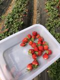 7/5000 delle fragole raccolte dopo pioggia immagini stock libere da diritti