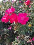 Delle rose rosse fine su fotografie stock