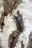 ` Dello scarabeo di clic lo spazio osservato della copia di oculatus di Alaus del ` di elator Fotografia Stock