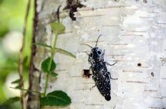 ` Dello scarabeo di clic lo spazio osservato della copia di oculatus di Alaus del ` di elator Fotografia Stock Libera da Diritti