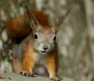 Dello scoiattolo dell'animale domestico ritratto all'interno Immagine Stock