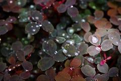 ` Dello zinfandel del ` di vulcanicola di oxalis Fotografia Stock Libera da Diritti