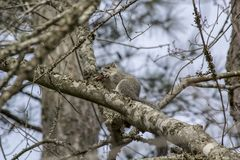 Delmarva Fox Squirrel, Sciurus niger cinereus,Chincoteague National Wildlife Refuge royalty free stock image