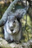 delmarva lisa półwysepa wiewiórka Obraz Stock